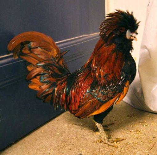Sig goddag til Frank... forhåbentlig bliver han far til en masse små Paduan-kyllinger til foråret (hvis ikke gamle Heeven får fat i ham :o)