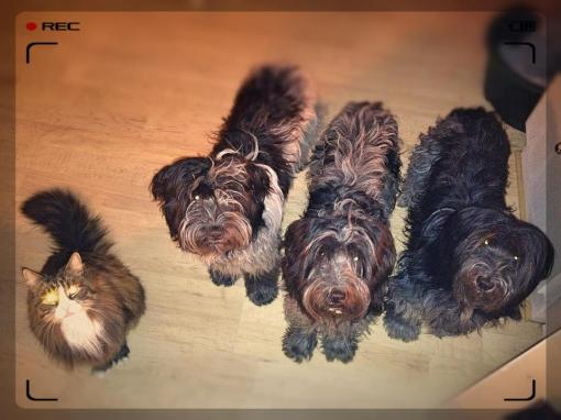 Hjemme igen, står Dingle og vennerne – hund som kat – parat når Jan går i køkkenet.