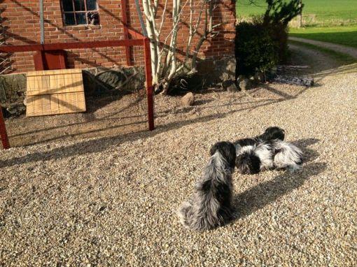Odie holder øje med byggeriet af hønsegården.
