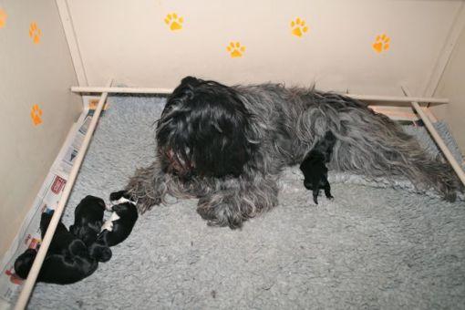 Odie holder tydeligvis af at være mor igen, og når hvalpene ligger og sover, ligger Odie og piber af bare utilfredshed over at de ikke kommer over til hende.