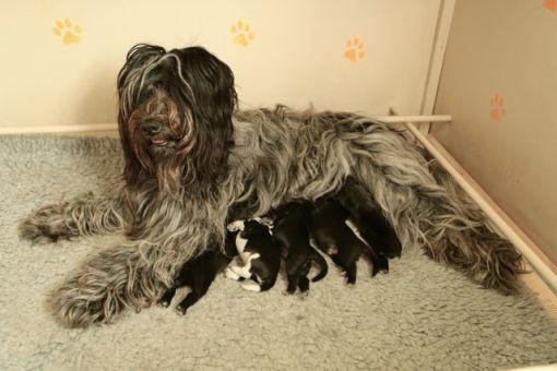 Odie og de fem små hvalpe... men alt endnu var fryd og gammen
