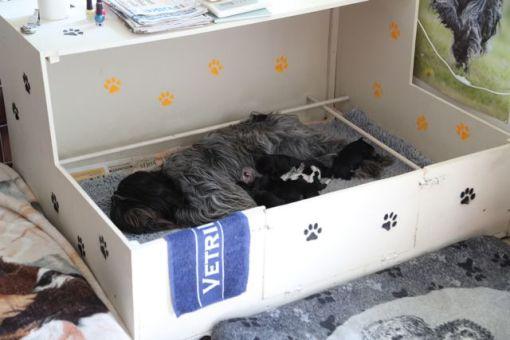 Odie ligger absolut ikke hele dagen og snuer i kassen sammen med hvalpene. Men brokker de sig hopper hun straks op og tjekker dem hver især. Her faldt hun dog i søvn sammen med sit yngel, efter at de havde ammet og alle lagde sig til at sove.