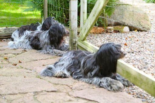 Odie har igen fået et normaliseret forhold til sine store hvalpe. Her ligger de og venter på at Lene kommer hjem fra arbejde.