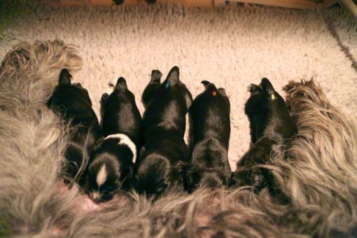 Normalt falder der hurtigt ro over flokken når de har fundet hver deres pat.