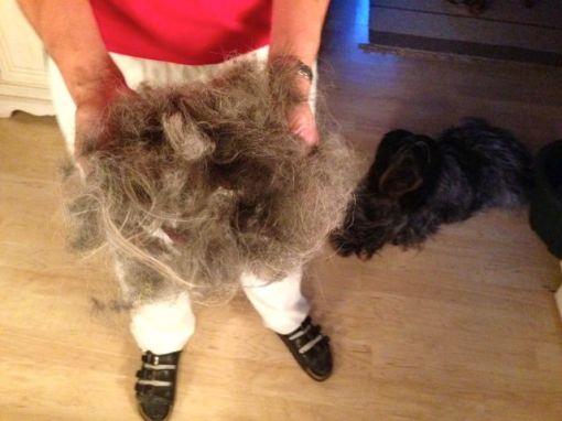 Fødslen og hvalpene har i fællesskab forårsaget et sand kaos i Odie's pels, specielt på hendes lår, så i dag skulle hun befries for lidt knuder...