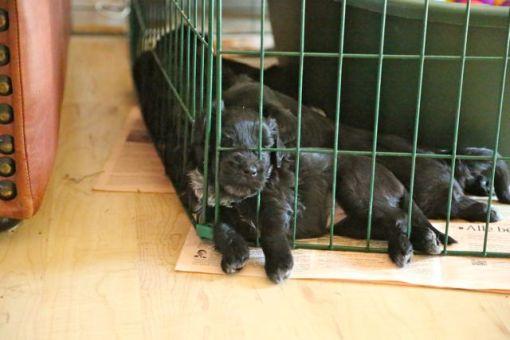 Dejligt sted at sove, absolut det sted i hvalpegården hvor der er mest påstyr når vi, de øvrige hunde og katte går forbi, så det må føles som at sove midt på en banegård...