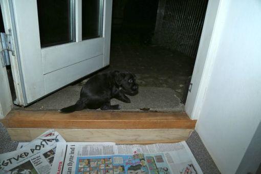 Jeg må stadig op ca. kl. 2.00 og kl. 4.00 hvor Odie gerne vil ind og amme, hvorefter hvalpene nu har fundet ud af, at det er sjovt at komme ud på terrassen i mørket hvor de besørger. Dygtige små hvalpe!