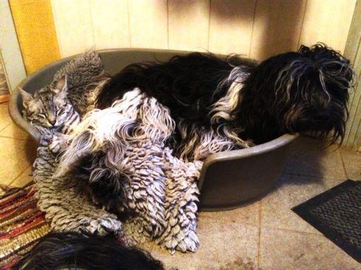Nu har Flik-Flak efterhånden vænnet sig til at Mau-Mau insisterer på at skulle ligge i kurven sammen med sin langhårede ven.