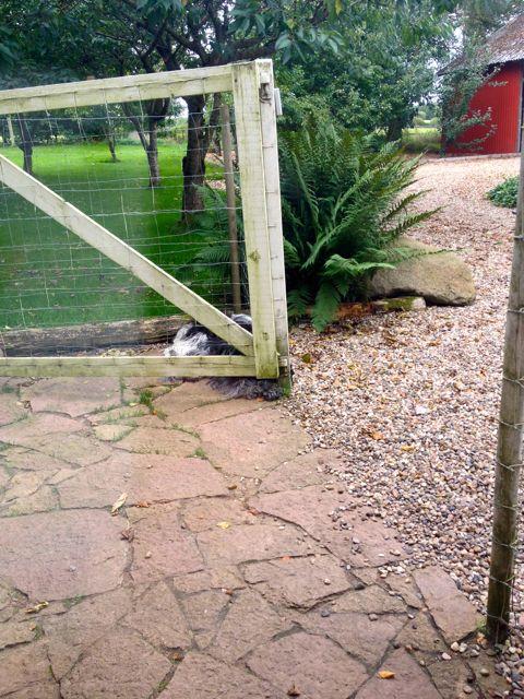 Det ligger så dybt i Dingle og Flik-Flak at de på dette tidspunkt af dagen er lukket inde mens vi er på arbejde, så selv om porten er åben og de kan gå frit, så vælger de at ligger hvor de plejer at vente på at Lene  snart kommer hjem.