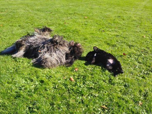 Storesøster Dingle viser sin lillesøster hvordan man ruller i det friske græs.
