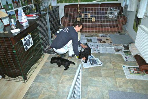 Når der skal skiftes aviser i hvalpegården synes de snart 9 uger gamle hvalpe absolut at de skal hjælpe til. Ikke nødvendigvis den store hjælp...