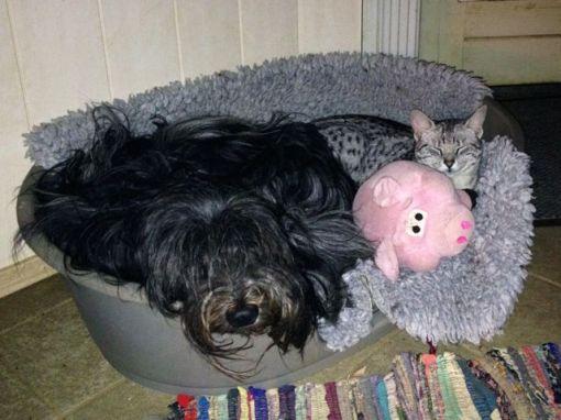 Svært for Dingle at sove i kurven, når der både skal være plads til kat og svin...