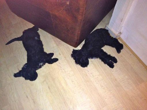 To trætte hvalpe...