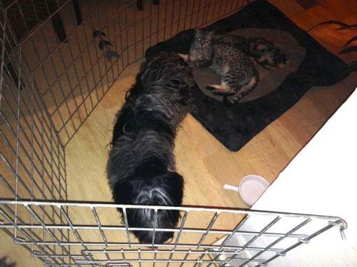 Odie måtte tilbringe aftenen i et bur for sig selv, så hun kunne slappe af. Svært, når Mau-Mau straks erobrede Odie's pude...
