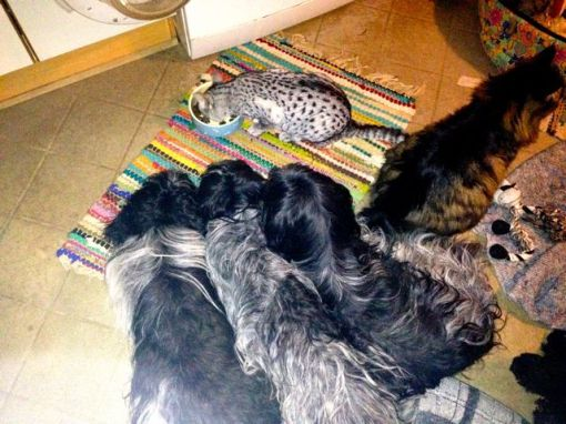 Lille GetUp kunne ikke spise op, så det hjalp Mau-Mau med. De voksne hunde ligger tæt på og håber der falder lidt krummer til dem...