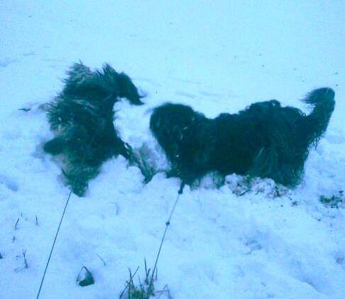 Kejser (far til DAN de DOES F-kuld) leger i sneen med sin bofælle Thor. (Tak: Anne Lise Øbo Sørensen)