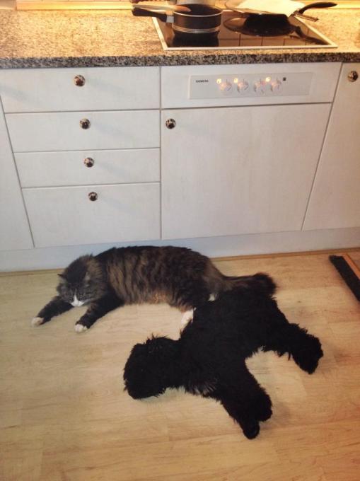 Svært at komme til at lave mad på komfuret, når der liggere en bevidstløs hundehvalp og en lad han-kat på gulvet...