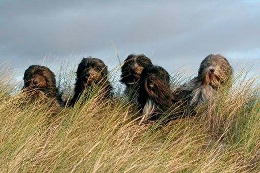Vores gamle hunde fra slutningen af 2008: Fiona, Fille, Odie, Amie og Heeven.