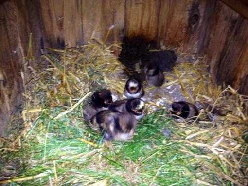 7 små Paduaner kyllinger er det blevet til.