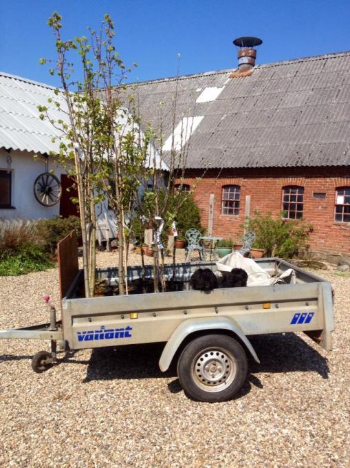 Loppen byder vores nye frugttræer velkommen hjem.