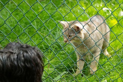 Gik 9 kilometer gennem et reservat hvor der var mange vilde katte. Så ikke en eneste. Til gengæld havde de tre i fangenskab i store indhegninger, så man kunne se dem rigtig. Lille GetUp duttede næse med en af dem.