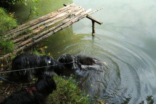 Selvom Flik-Flak ikke er den store svømmer, så kunne varmen få ham til at hoppe i en skovsø.