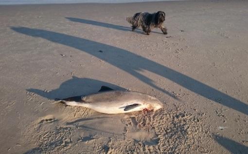 Igen i år så vi døde marsvin som bar spor efter at være døde i fiskernes net :(