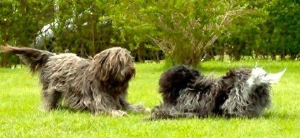 Flipper, til højre, og Bella på deres først møde. Håber de i løbet af de næste dage, kan få lavet nogle skønne Schapendoes-hvalpe. Foto: RoyAndersen